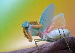 Rhombodera show her amazing wings
