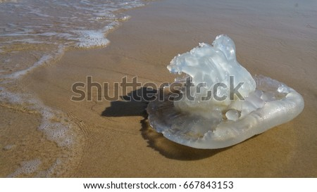 Rhopilema nomadica jellyfish at the Mediterranean sea. It has vermicular filaments with venomous stinging cells and can cause painful injuries to people.