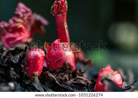 Rhubarb, Rheum Rhabarbarum, crowns emerging from the ground in early spring