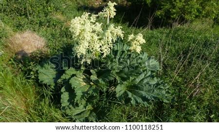 Rhubarb (Rheum rhabarbarum) with flower. Polygonaceae family.