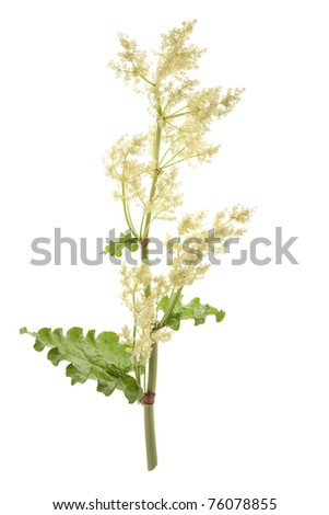 rhubarb stem with blossom on isolated white background