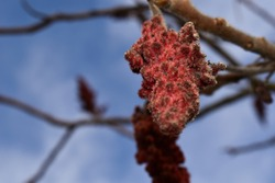 Rhus typhina, red blossom of sumac tree.close up