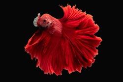 Rhythmic movement Red Hawk over half moon long tail Betta,Siamese fighting fish, Betta fighting motion,Betta splendens Pla-kad(biting fish),Thai aquatic national animals,popular fish isolated on black