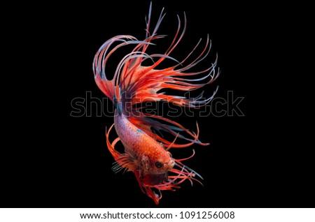 Rhythmic of Betta fish, siamese fighting fish betta splendens (Crown Tail Fancy),isolated on black background.