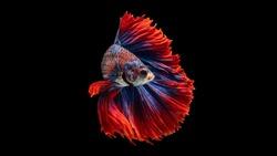 Rhythmic of Betta fish, siamese fighting fish betta splendens (Halfmoon red dragon betta ),isolated on black background.artistic pattern color