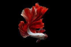 Rhythmic of Betta fish, siamese fighting fish betta splendens (Halfmoon  Red  Dragon),isolated on black background.