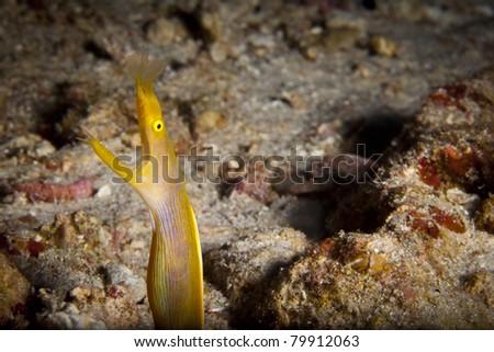 Ribbon eel peeking out of her hole, in the Andaman Sea, Thailand. Rhinomuraena quaesita