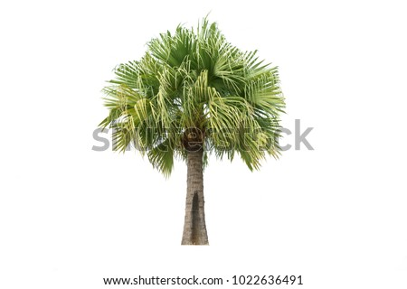 Ribbon fan palm isolated on white background.The tree is popular to decor in the garden or golf club. - Shutterstock ID 1022636491