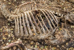 Ribcage of a carcass from a decaying moose that was poached