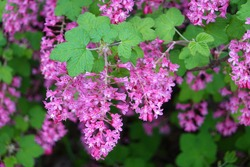 Ribes sanguineum, the flowering currant, redflower currant, or red-flowering currant, is a North American species of flowering plant in the family Grossulariaceae, native to western US and Canada.