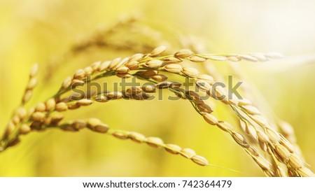 rice #742364479