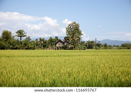 Rice crop in the sunshine