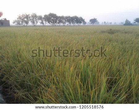 Rice crops image, crops has not prepared for cutting.  Crop #1205518576