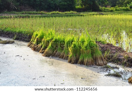 Rice cultivation.