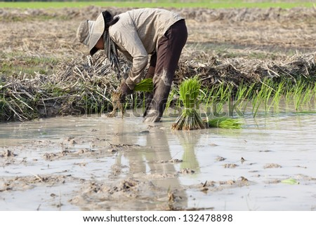 Rice cultivation in Cambodia