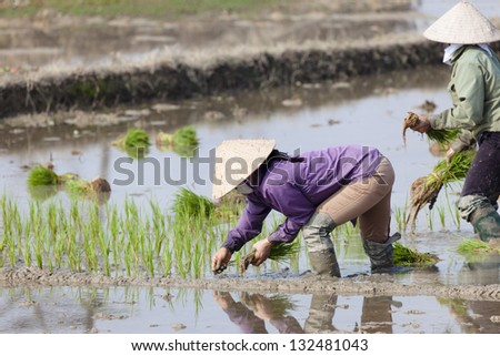 Rice cultivation in Vietnam