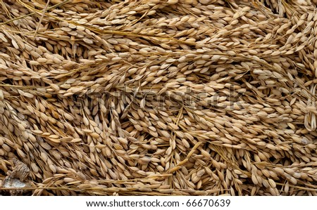 Rice drying in a basket in Central Java, Indonesia.  Rice is a staple part of the diet for a large part of the world's population.
