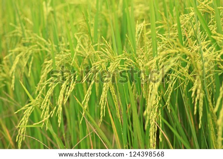 Rice Farm, Jusmine Rice