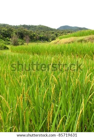 Rice farm on mountain, Northern, Thailand.
