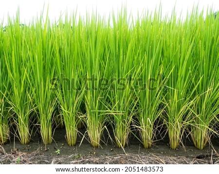 Rice farm- Rice field- Rice paddy,rice pants Rice paddy