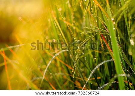 Rice farm- Rice field- Rice paddy,rice pants Rice paddy #732360724