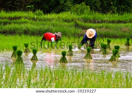 stock photo : Rice farmers on rice field in Thailand