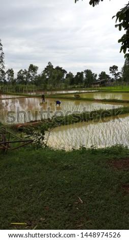 Rice farming, rice farming in Thailand