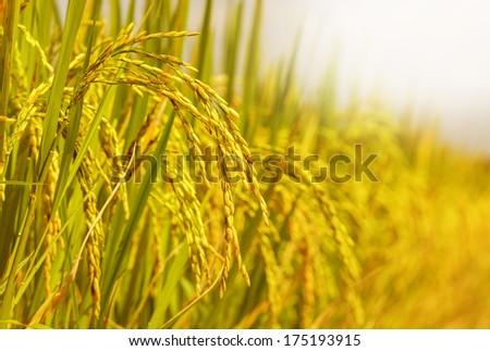 rice field ストックフォト ©