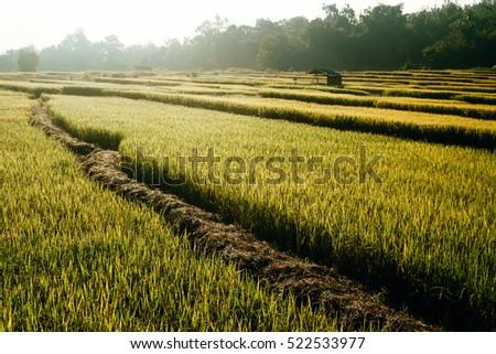 Rice field #522533977