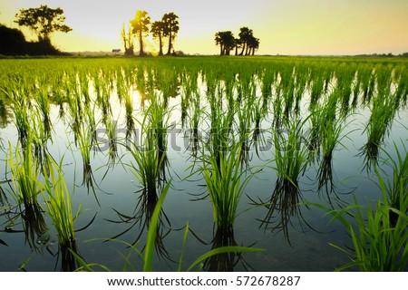 Rice  field. ストックフォト ©