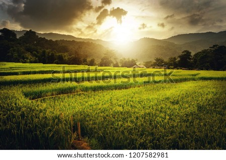 Rice field, agriculture farm
