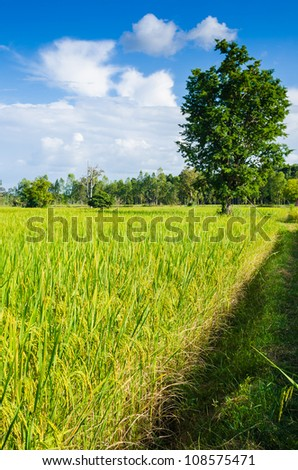 Rice field and blue sky in farmland food of Asia