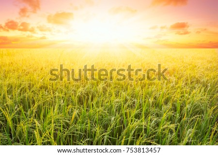 Rice field and sky background at sunset time with sun rays. ストックフォト ©
