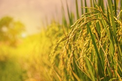 rice field at north Thailand, nature food background