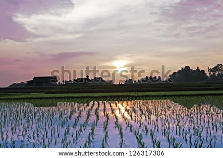 Rice field at the sunset