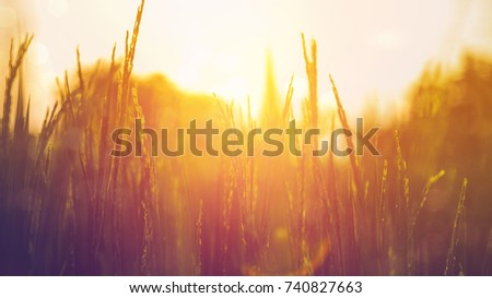 Stock Photo Rice field background with sunlight