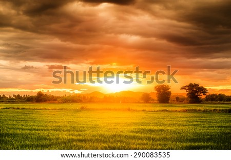 Rice field beautiful natural at sunset #290083535