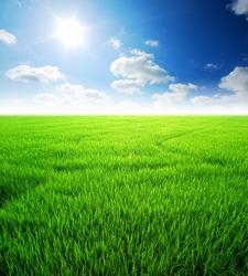 Rice field green grass