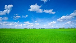 Rice field green grass blue sky cloud cloudy landscape