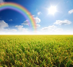 Rice field green grass blue sky cloud cloudy landscape background yellow rice rainbow