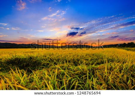 Rice field imjingak Paju in South Korea Field harvest season.  #1248765694