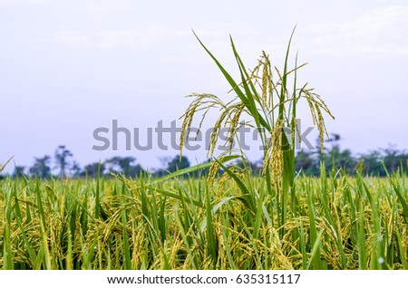 Rice field in a morning #635315117