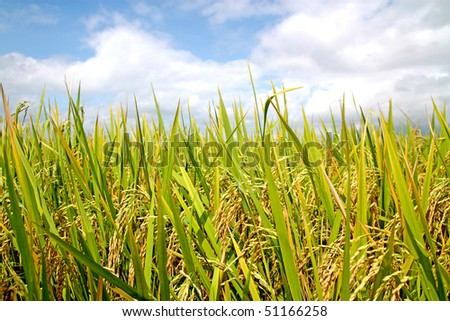rice field in a tropical country ready for harvest