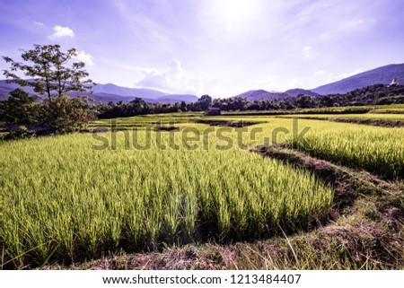 Rice field in Chiangmai province, Thailand. #1213484407