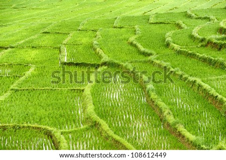 Rice Field in Chiangmai, Thailand