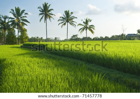 Rice field in early stage at Bali, Indonesia. Coconut tree at background.