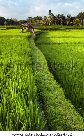 Rice field in early stage at Ubud, Bali, Indonesia. Coconut tree and hut at background.