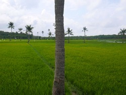 Rice field in Indonesia with palm trees
