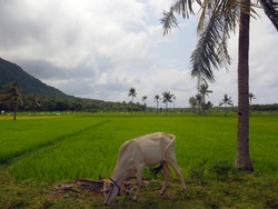 Rice field in Indonesia with palm trees and cow