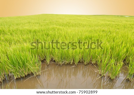 Rice field in morning